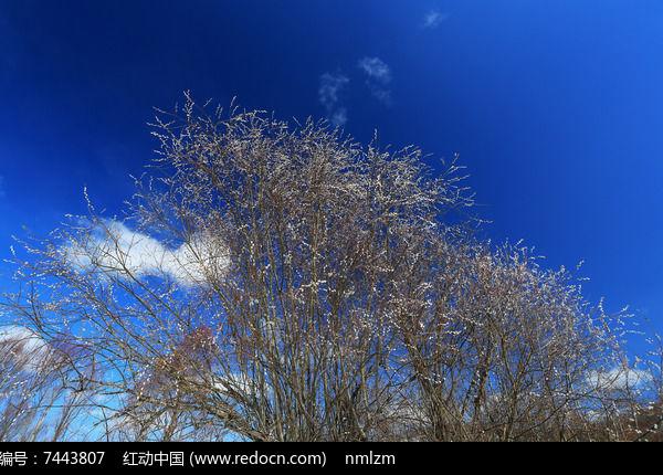 早春的柳树毛毛狗图片