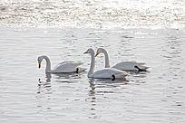 湖水中的3只天鹅