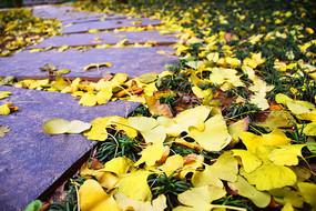 铺满黄色银杏叶的灰色小道