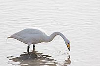 水中觅食的天鹅