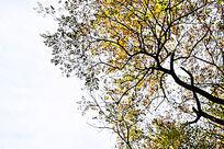 天空下的黑色树干和黄色树叶