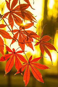 阳光照射下的枫叶
