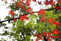 岳麓山红色枫叶摄影细节图