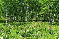 白桦林草地