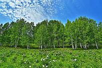 白桦林风景