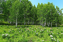 白桦林和芍药花
