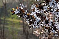 春天盛开的紫叶李