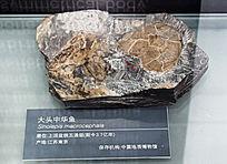 江苏南京的大头中华鱼