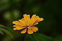 黄色小花花朵特写