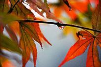 红色枫叶中的雨滴细节摄影图