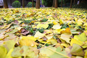 秋季岳麓书院满地的黄色银杏叶