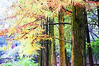 秋天的红色水杉针叶和并排的褐色树干