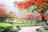 晚亭旁的深秋红色枫叶