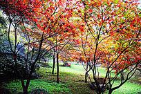 岳麓山秋天红枫树林摄影图