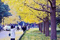 北京大学银杏林
