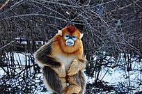 蹲守金丝猴