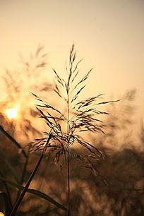 日落时的芦苇