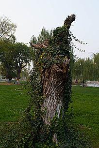 藤蔓缠绕的树