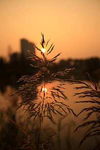 黄昏时的芦苇草
