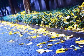 满地黄色银杏叶