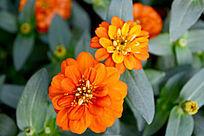 美丽的橙色花朵