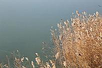 秋天水边的芦苇丛