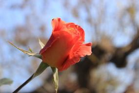 橘色含苞待放的月季花