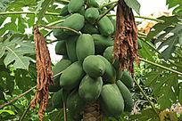 硕果累累的木瓜树