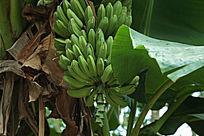 一大串香蕉