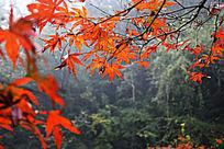 岳麓山红色枫叶