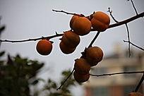 挂满枝头的柿子