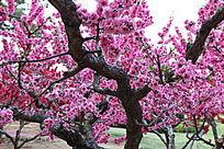 开花的桃树