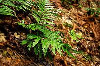 山间的蕨类植物