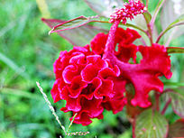鲜艳欲滴的鸡冠花
