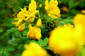 黄槐决明—黄色小花