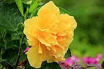 黄色重瓣朱槿
