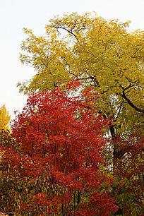 秋天的银杏和红叶树