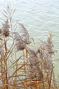 水边的芦苇