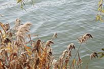 水边的芦苇丛