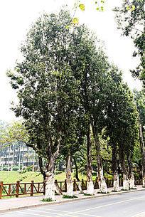 暨大道边景观树