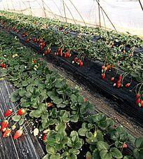 大棚内的新鲜草莓