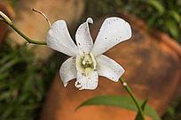 美丽的白色石斛兰