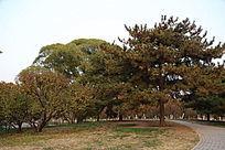 深秋的松柏树