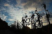 夕阳山岭蓝天白云下的一片高粱影