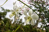 一串白色石斛兰