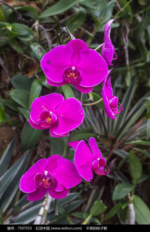 一串紫色蝴蝶兰