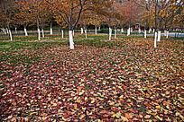 樱树林的落叶