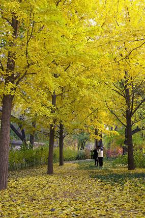 银杏树下赏秋
