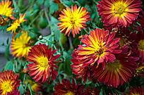 大红色太阳花