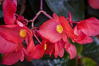 红色的海棠花